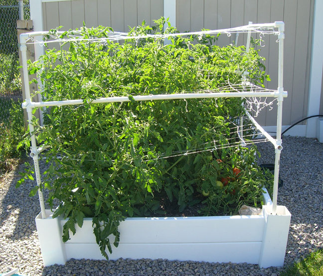 square foot gardening august tomatoes 1