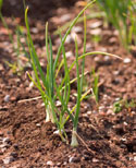 square foot gardening little onions