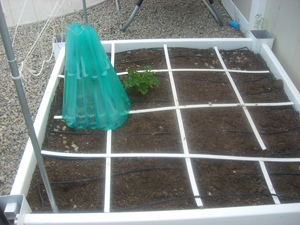 square foot gardening CIMG5136 small
