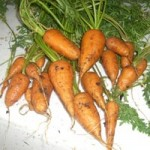 square foot gardening carrots2 150x150