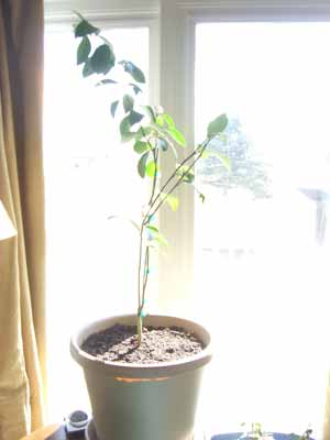 square foot gardening plants lemon tree sun