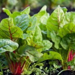 square foot gardening swiss chard 150x150