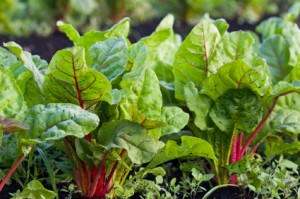 square foot gardening swiss chard 300x199