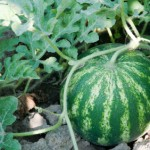 square foot gardening watermelon 150x150